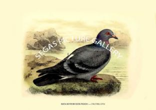 ROCK DOVE OR ROCK PIGEON ---- COLUMBA LIVIA